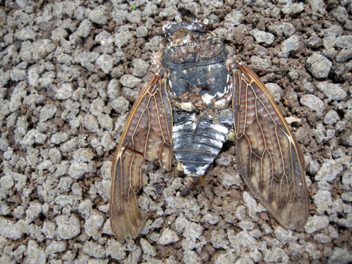 6eaf0-squashed_cicada