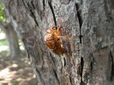 82fe4-cicada_husk