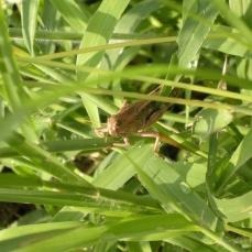 cc6e9-brown_cricket